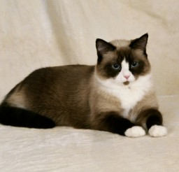 624x475px A Snowshoe Siamese Cat Picture in Siamese Cats