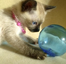 900x900px Blue Point Siamese Cats For Sale Picture in Siamese Cats