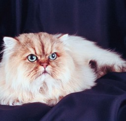 800x534px Grumpy Cat Breed Picture in Grumpy Cat
