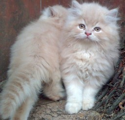 600x615px Persian Cat Kittens For Sale Picture in Persian Cat