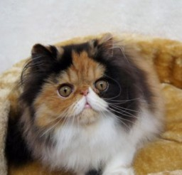 500x370px Persian Cats For Sale In Miami Picture in Persian Cat