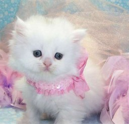 513x480px Persian Cats For Adoption Picture in Persian Cat