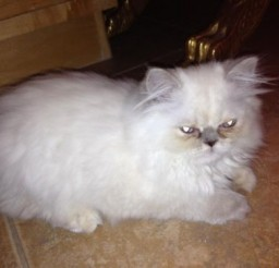 500x375px Persian Cats For Sale In Phoenix Picture in Persian Cat