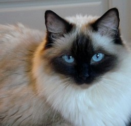640x480px Pictures Ragdoll Cats Picture in Ragdoll Cat