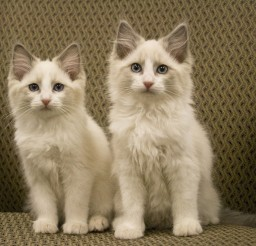 2249x1920px Ragdoll Cat Rescue Los Angeles Picture in Ragdoll Cat