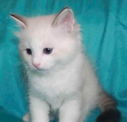 494x600px Ragdoll Cats Adoption Picture in Ragdoll Cat
