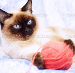 1023x682px Siamese Cat Fabric Picture in Siamese Cats