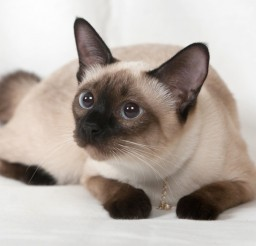 1000x667px Siamese Cat Personality Picture in Siamese Cats
