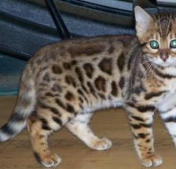 532x378px Silver Bengal Cat For Sale Picture in Bengal Cat