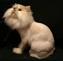 1024x768px Persian Cat Haircuts Picture in Persian Cat