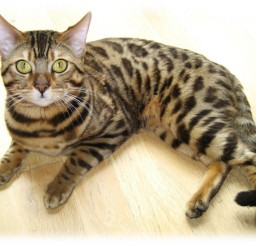 737x572px Bengals Cats For Sale Picture in Bengal Cat