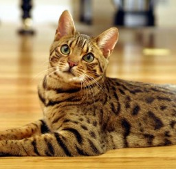 1252x831px Domesticated Bengal Cats Picture in Bengal Cat