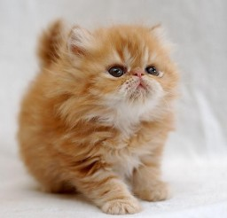 640x601px Information About Persian Cats Picture in Persian Cat