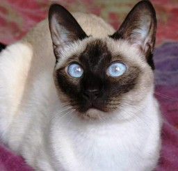 1600x1200px Information About Siamese Cats Picture in Siamese Cats