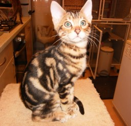 800x600px Marble Bengal Cats For Sale Picture in Bengal Cat