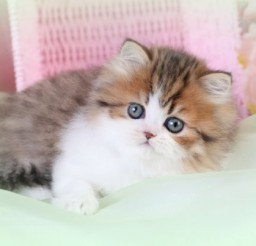 580x403px Miniature Persian Cats For Sale Picture in Persian Cat