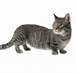 700x611px Munchkin Cats Pictures Picture in Munchkin Cat