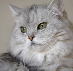 430x543px Persian Cat Weight Picture in Persian Cat
