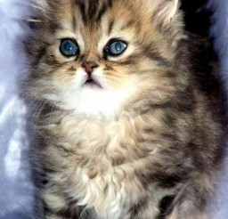 533x800px Persian Cats For Sale In Ny Picture in Persian Cat