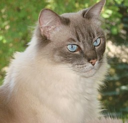 564x511px Ragdoll Cat Breed Information Picture in Ragdoll Cat