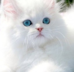 390x512px Ragdoll Cats Cost Picture in Ragdoll Cat