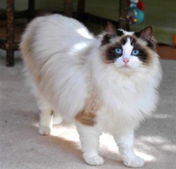 482x480px Ragdoll Cats San Diego Picture in Ragdoll Cat