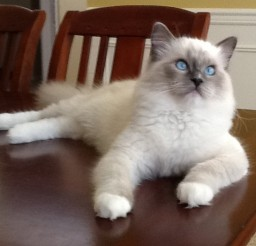 637x525px Ragdoll Cats Seattle Picture in Ragdoll Cat