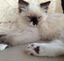 736x552px Seal Point Mitted Ragdoll Cat Picture in Ragdoll Cat