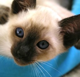 640x480px Seal Point Siamese Cats For Sale Picture in Siamese Cats