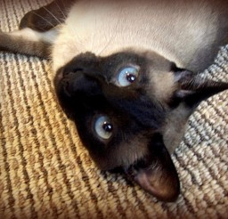 581x468px Siamese Cat Rescue San Diego Picture in Siamese Cats