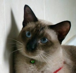 640x480px Siamese Cats To Adopt Picture in Siamese Cats