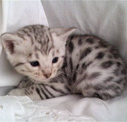 640x480px Silver Bengal Cats For Sale Picture in Bengal Cat