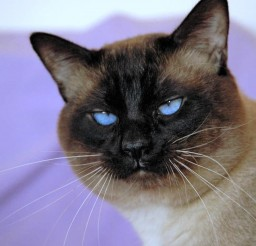 1504x1000px Traditional Siamese Cats For Sale Picture in Siamese Cats