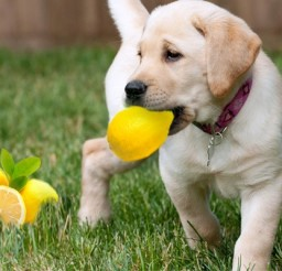 620x400px CALIFORNIA PUPPY LEMON LAW Picture in Breed Puppies