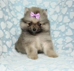 900x600px PUPPIES FOR SALE IN LAS VEGAS NV Picture in Breed Puppies