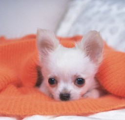 700x525px Beautiful Chiwawa Baby Image Gallery Picture in Small Puppies