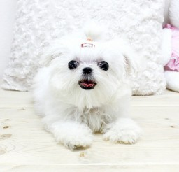 640x457px Wonderful Micro Teacup Maltese Puppies Image Collection Picture in Small Puppies