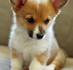 450x586px Breathtaking Welsh Corgi Puppies Image Gallery.jpg Picture in Puppies