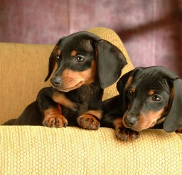 1920x1080px Charming Dachshund Puppies Image Gallery Picture in Puppies