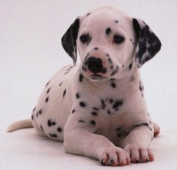 597x625px Wonderful Dalmatian Puppies Photo Gallery Picture in Puppies