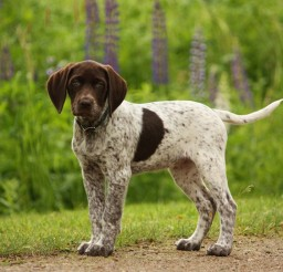 1024x689px Stunning German Shorthaired Pointer Image Gallery Picture in Dog