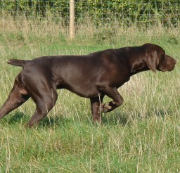 2127x1300px Fabulous German Pointer Picture Gallery Picture in Dog