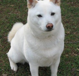 450x574px Fabulous Shiba Inu White Picture Gallery Picture in Dog