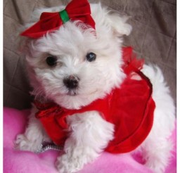 642x642px Breathtaking Teacup Maltese Puppies Image Collection Picture in Puppies