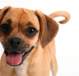 3400x2200px Gorgeous Puggle Photo Gallery Picture in Dog