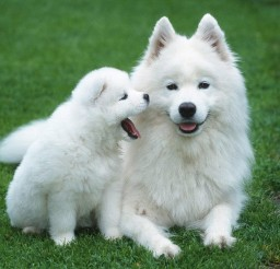 1280x1024px Fabulous Samoyed Picture Gallery Picture in Dog