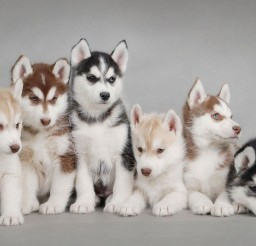 1920x1080px Lovely Husky Puppys Picture Gallery Picture in Dog