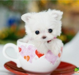 700x530px Wonderful Teacup Dog Image Collection Picture in Dog