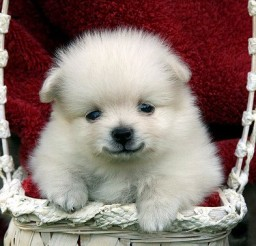 500x378px Breathtaking Teacup Dogs Photo Collection Picture in Dog