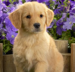 1920x1200px Breathtaking Yellow Lab Puppies Picture Collection Picture in Puppies